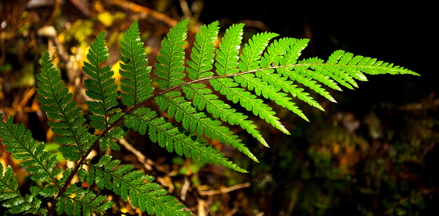 A fern is an example of fractal patterns in nature