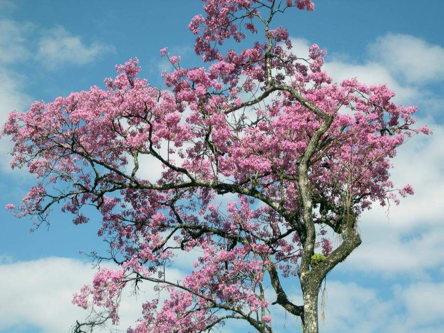 Ipe tree in bloom